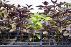 Basil in a greenhouse. Royalty Free Stock Photography