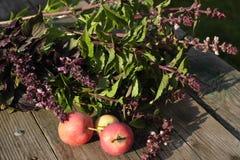 Basil greens tasty useful natural Stock Photos