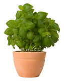 Basil growing in a flower pot. Isolated on white background Royalty Free Stock Image