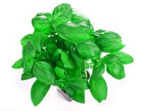 Basil growing in a Pot Royalty Free Stock Photo