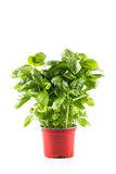 Basil growing in a pot Royalty Free Stock Images