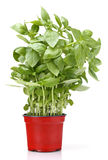Basil growing in a pot Royalty Free Stock Photography