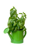 Basil growing in a watering can Stock Photography