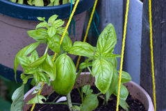 Basil Grown in a pot Royalty Free Stock Photography