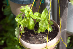 Basil Grown in a pot Royalty Free Stock Images