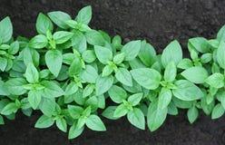 Basil grows on a kitchen garden Royalty Free Stock Photo