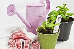 Basil growth Stock Images