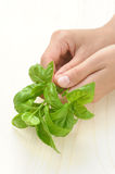 Basil, hands of young woman holding fresh herbs stock images
