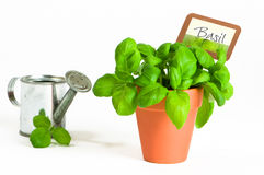 Basil Herb Royalty Free Stock Photo