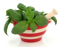 Basil Herb Stock Images