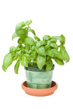 Basil Herb. Homegrown basil herb on a white background royalty free stock image