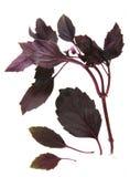 Basil herb Royalty Free Stock Image