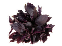 Basil herb Stock Photo