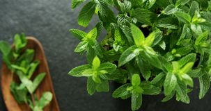 Basil herb on black background 4k. Close-up of basil herb on black background 4k stock video