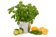 Basil Herb and Citrus Fruit Royalty Free Stock Image