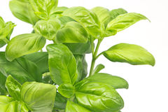 Basil herb close up Royalty Free Stock Photos
