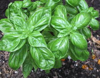 Basil in Herb Garden Royalty Free Stock Images