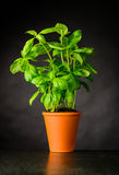 Basil Herb Growing in vaso delle terraglie Fotografia Stock