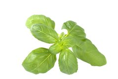 Basil herb isolated Royalty Free Stock Photography