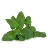 Basil Herb Leaf Sprig Royalty Free Stock Photography