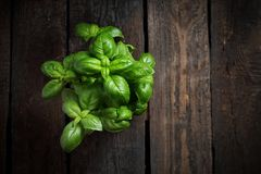 Basil. Herb leaves of fresh basil on a wooden background. Basil seedling, herbs on a wooden background, horizontal shot, top view with space for text royalty free stock images