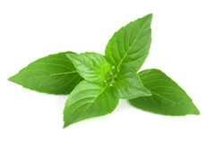Basil herb leaves  on white background closeup.  Stock Photos