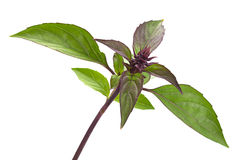 Basil herb leaves on white Royalty Free Stock Image