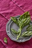 Basil Herb Picked fragrante fresco dal mio Herb Garden Oci organico Fotografia Stock Libera da Diritti