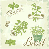 Basil, herb,. Plant, nature vintage background, packaging calligraphy Stock Photos