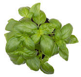 Basil herb plant. Over white background stock photography