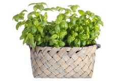 Basil herb Royalty Free Stock Images