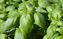 Basil herb plants Royalty Free Stock Images