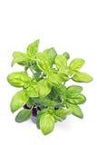 Basil herb in plastic pot Stock Image