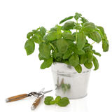 Basil Herb and Secateurs Stock Photography