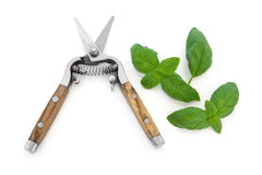 Basil Herb and Secateurs Stock Photos