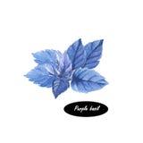 Basil herb spice leaf  on white background Stock Photo