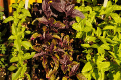 Basil Herb Variety Royalty Free Stock Photos