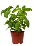 Basil herb on white Royalty Free Stock Photography
