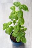 Basil, herbe de cuisine Photo stock