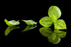 Basil herbs. Stock Photography