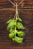 Basil herbs. Stock Images