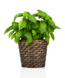 Basil herbs Stock Photography