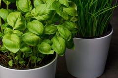 Basil i szczypiorki w białych flowerpots Obrazy Royalty Free