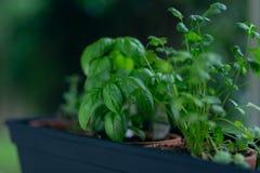 Basil i ziele w małych garnkach obrazy stock