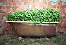 Basil inside a bath Stock Image