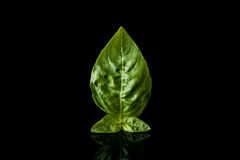 Basil isolated Royalty Free Stock Photo