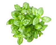 Basil isolated. Over white background Royalty Free Stock Images