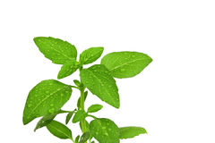 Basil isolated on a white background. Basil in drops of water isolated on a white background Stock Image