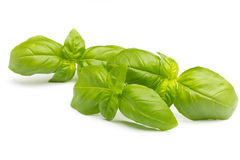 Basil. Royalty Free Stock Images