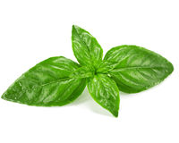 Basil isolated Stock Photography